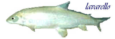 Lavarello coregone caratteristiche e ricette fotografate for Pesce pulitore acqua dolce fredda